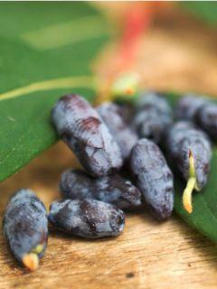 Chèvrefeuille 'Blue Velvet' ou 'Sweet Myberry'