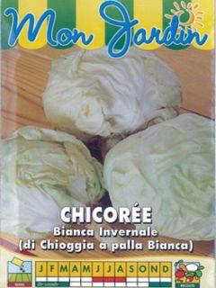 Chicorée à large feuilles Bianca invernale ( di chioggia a palla Bianca ) - Cichorium intybus