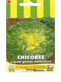 Chicorée scarole Géante Maraîchère - Cichorium endivia