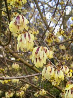Chimonanthus praecox Grandiflorus - Chimonanthe odorant  à grandes fleurs