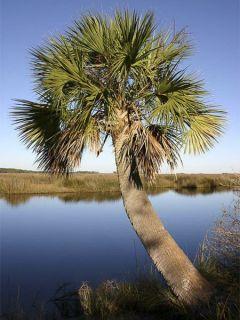 Sabal palmetto - Palmier chou
