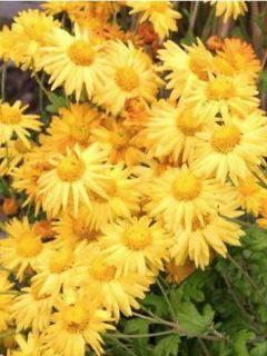 Chrysanthème des jardins Goldmarianne - Chrysanthemum indicum