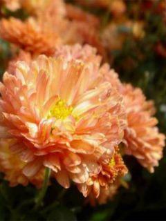 Chrysanthème des jardins Herbstbrokat - Chrysanthemum (x) indicum