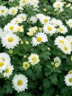 Chrysanthemum indicum Poesie - Chrysanthème des jardins
