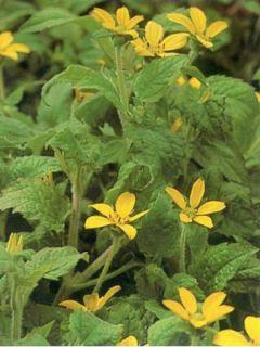 Chrysogonum virginianum - Genou doré