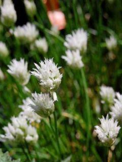Ciboulette - Allium schoenoprasum Corsican White