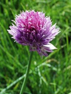 Ciboulette  - Allium schoenoprasum - civette
