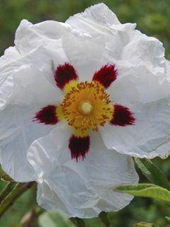 Cistus Alan Fradd - Ciste pourpre à fleurs blanches.