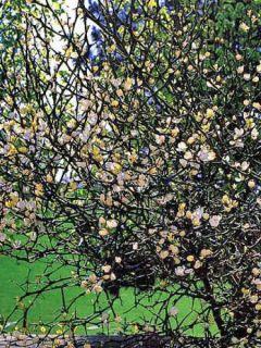 Citronnier épineux - Poncirus trifoliata