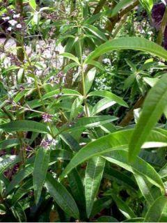 Verveine citronnelle - Aloysia triphylla