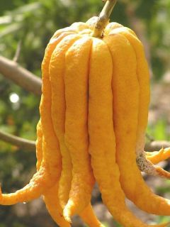 Main de Bouddha - Citrus medica var. sarcodactylis
