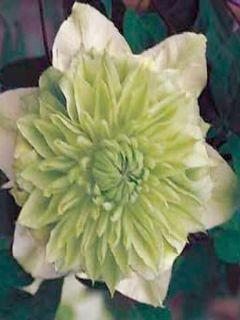 Clématite florida alba plena