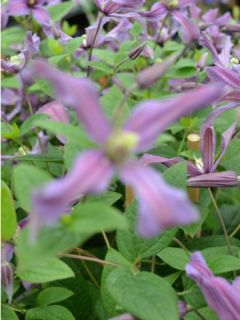 Clématite Saphyra Estrella - Clématite à grandes fleurs.