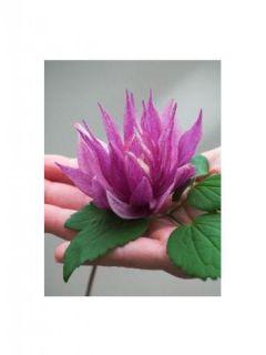 Clématite - Clematis macropetala Purple Dream
