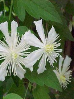Clématite Fargesii summersnow