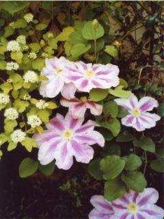 Clematite White Pearl - Clématite à grandes fleurs