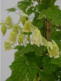 Clématite rehderiana - Clematis campanella rehderiana