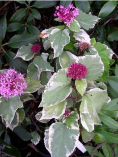 Clérodendron fétide 'Pink Diamond'