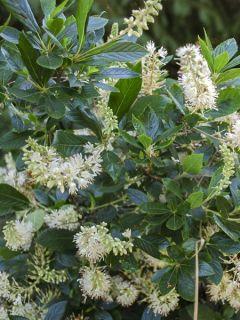 Clethra alnifolia Hummingbird - Clèthre à feuilles d'Aulne