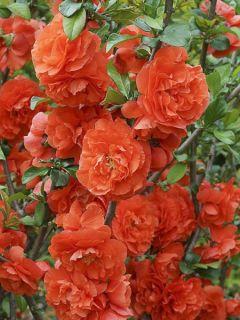 Cognassier du Japon 'Orange Storm'