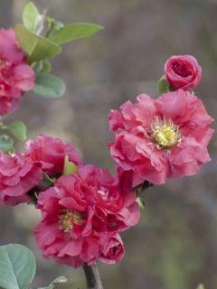 Cognassier du Japon - Chaenomeles speciosa Pink Storm
