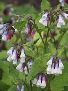 Consoude à grandes fleurs - Symphytum Sky Blue Pink