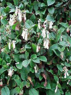 Consoude à grandes fleurs - Symphytum grandiflorum