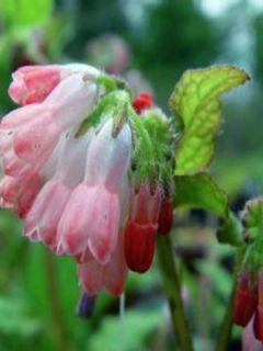 Consoude à grandes fleurs - Symphytum Hidcote Pink