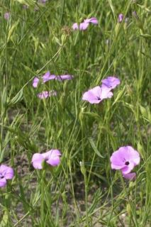 Graines de Nielle des blés - Agrostemma githago