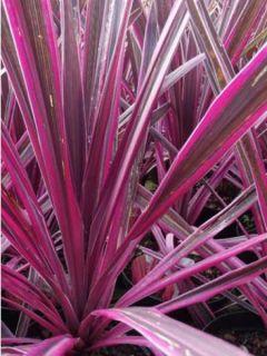 Cordyline australis Pink passion