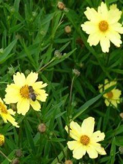 Coreopsis Full Moon Madness - Coréopsis à fleurs jaune crémeux