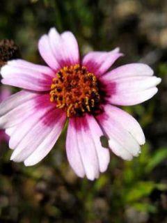 Coreopsis rosea Heaven's Gate - Coréopsis rose