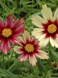 Coréopsis 'Redshift'