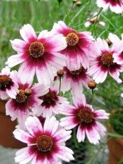 Coreopsis rosea Sweet Dreams - Coréopsis à fleurs blanc-crème et rouge framboise foncé