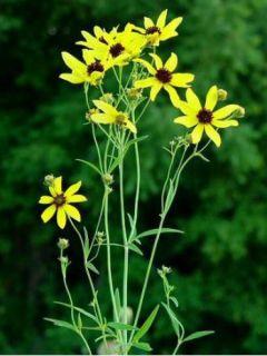 Coreopsis tripteris - Grand coréopsis