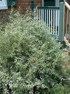 Corète du Japon - Kerria Japonica Picta