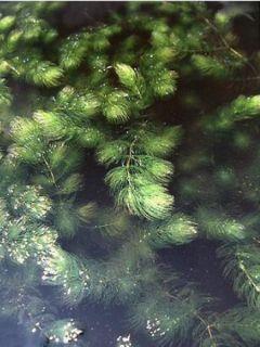 Ceratophyllum demersum - Cératophylle épineux