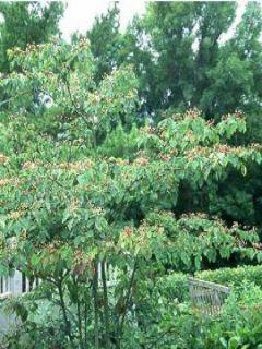 Cornouiller à feuilles alternes