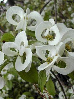 Cornouiller à grandes fleurs 'Urbiniana'