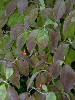 Cornus florida - Cornouiller à fleurs d'Amérique