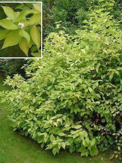 Cornouiller blanc - Cornus alba Aurea