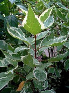 Cornus alba Elegantissima - Cornouiller blanc panaché