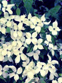 Cornouiller du Japon 'Weisse Fontaine'