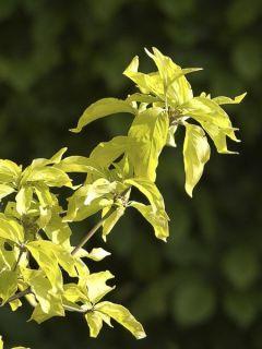 Cornus mas Aurea - Cornouiller mâle doré