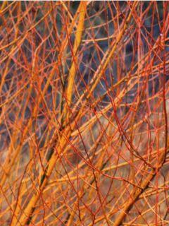 Cornus ou Cornouiller Sanguinea Mid Winter Fire