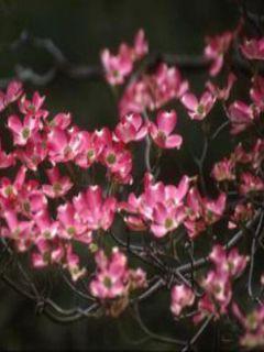 Cornus florida Cherokee Chief - Cornouiller à fleurs d'Amérique