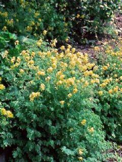 Corydale jaune