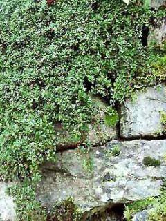 Cotoneaster microphyllus - Cotonéaster à petites feuilles