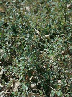Cotoneaster Eichholz - Cotonéaster  de Dammer