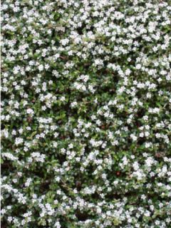 Cotoneaster dammeri Evergreen - Cotoneaster de Dammer
